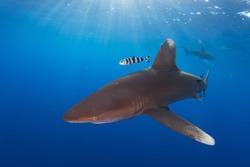 Sunlight coming down onto an oceanic whitetip shark in blue water