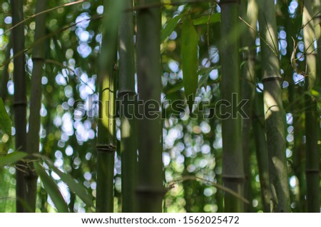 sunlight coming through a small patch of bamboo forest #1562025472