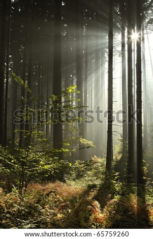 Sunlight entering coniferous stand on a misty autumnal morning.