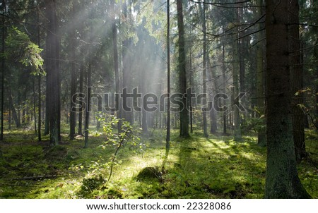 Sunlight entering misty coniferous forest just rain after