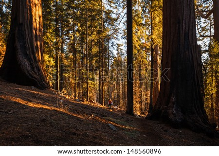 Sunlight filters through tree trunks to mountainside in Kings Canyon National Park, Sierra Nevada mountains, California