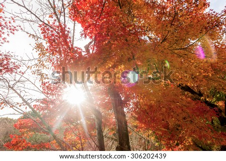 Sunlight flare with red maple leaves , color of  Autumn in Japan.