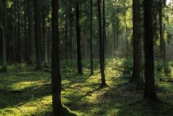 Sunlight in a dark coniferous forest