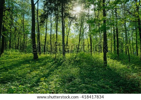 Sunlight in green forest. Untouched wild woods nature. Sunshine forest trees. Sun through green forest nature. Peaceful outdoor woods nature. Forest in light. Summer forest. Green nature tranquility
