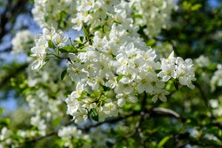 Sunlight on branch with appleblossom on appletree in spring on the green backround - horizontal