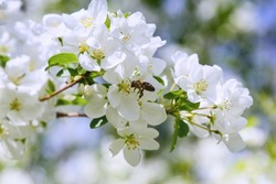 Sunlight on branch with appleblossom on appletree in spring on the green backround with bee