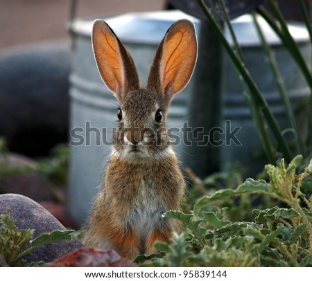 Sunlight on ears of wild Desert Cottontail rabbit of American Southwest/Wild Desert Cottontail Rabbit in Garden/Wild Cottontail bunny (Sylvilagus audubonii) with guilty expression in garden