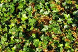 sunlight on ivy growing on the ground
