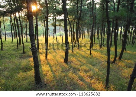 sunlight rays in the pine forest