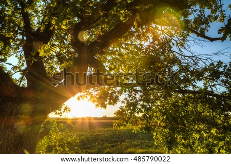 Sunlight rays make their way through the oak tree leaves