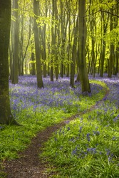 Sunlight shines through beech trees in the bluebell woods of Oxfordshire