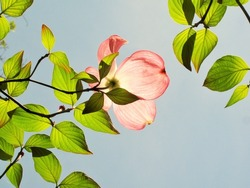 Sunlight shining through pink dogwood flower and green leaves.