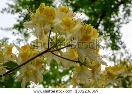 Sunlight shining through some yellow azalea flowers in the springtime