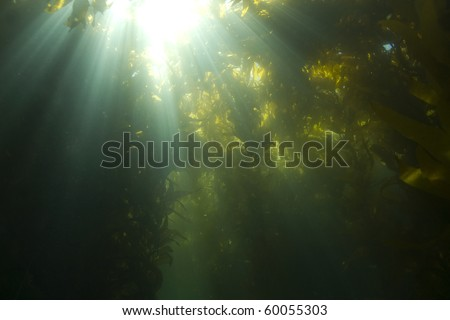 sunlight streaming through underwater kelp forest at casino point, catalina island, california