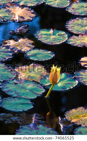 Sunlight Striking Lily-pads and Flower