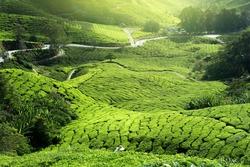 sunlight tea plantation