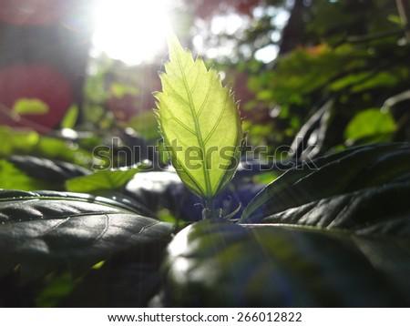 Sunlight through a leaf #266012822