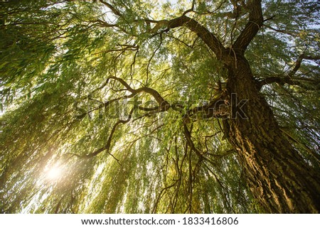 Sunlight through beautiful willow tree Stock fotó ©