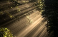 Sunlight through the crowns of trees in a dark forest. Forest sunbeams. Sunrays in dark forest. Forest sunlight shadows