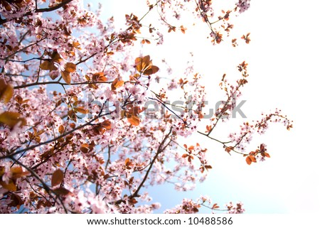 sunlit branches of rosy flowers in the earliest springtime