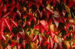 Sunlit brilliant crimson red, yellow and orange Autumn colour leaves of Boston Ivy (Parthenocissus tricuspidata), England, UK