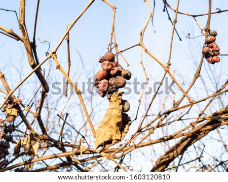 sunlit bunches of sun-dried grapes in vineyard on sunny winter day