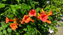 Sunlit campsis trumpet-shaped, orange flowers contrasting with green leaves against a flowering shrub. Flowering campsis vine shrub in the sunshine. Large, orange trumpet flowers against dense foliage