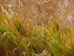 Sunlit Grass Field of Pale Yellow, Orange, and Bright Lime Green in Late Summer Autumn Wind