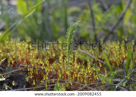 Sunlit green moss Polytrichum commune in breeding stage, photographed in its natural habitat. Spring forest Photo stock ©