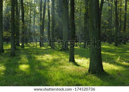 Sunlit Oak Tree Forest in Summer #174520736