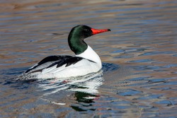 Sunlit photos of male common merganser showing feather and bill detail