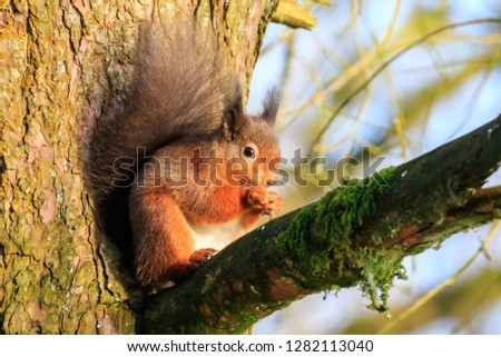 Sunlit Red Squirrel sat on a tree branch eating #1282113040