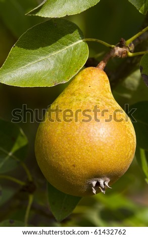Sunlit ripe pear hanging on a tree