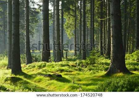 Sunlit Spruce Tree Forest