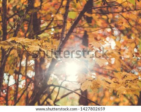 Sunny autumn. Yellow autumn leaves