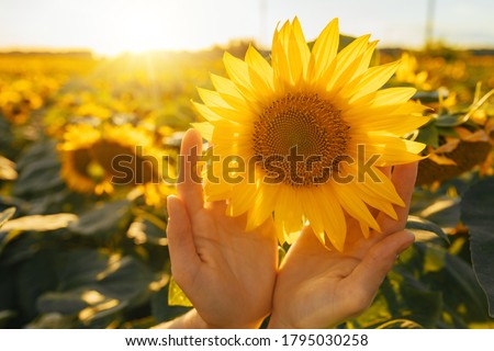 Sunny beautiful picture of sunflower in female's hands. Plant growing up among another sunflowers. Daylight in morning or evening. Big yellow sunflower's field. Harvest time