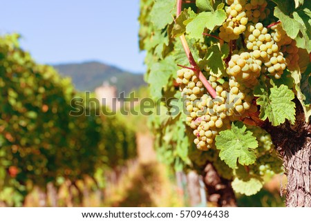 sunny bunches of white wine...