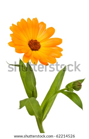 Sunny calendula isolated on the white background
