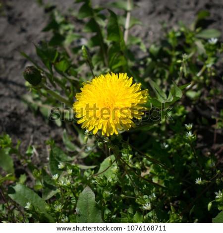 sunny dandelion close-up #1076168711