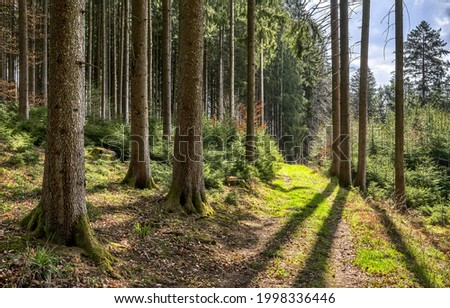 Sunny day in a pine forest. Forest trail view. Pine tree forest. Forest landscape