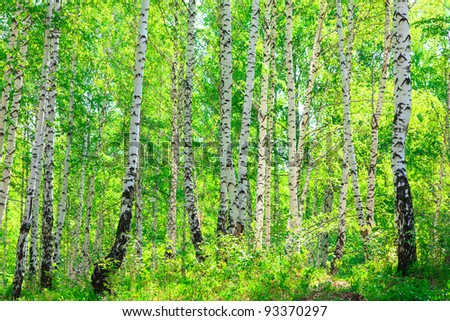 Sunny day in the summer birch forest in may