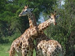 sunny detail of some Rothschild Giraffes at fight in Uganda (Africa)