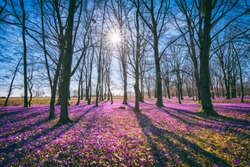 Sunny flowering forest with a carpet of wild violet crocus or saffron flowers, amazing landscape, early spring in Europe