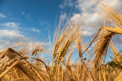 Sunny gold wheat straws on epic cloudy blue sky close-up. Agriculture gathering in crops summer time
