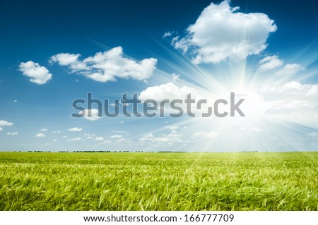 Sunny green wheat field. Summer landscape.