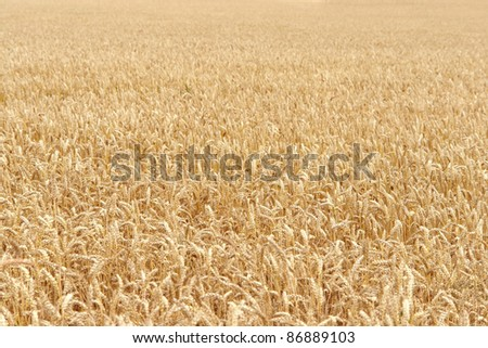 sunny illuminated full frame detail of a ripe grain field in Southern Germany at summer time