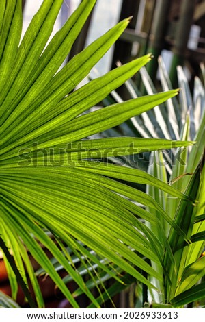 Sunny leaf of the Australian Cabbage Tree Palm Livistona australis. Tropic background Stockfoto ©