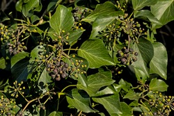 Sunny leafs and fruits of an ivy plant - hedera