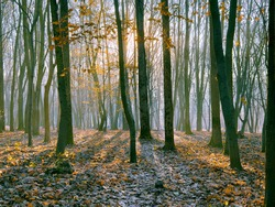 Sunny morning forest with fallen leaves and fog. Beautiful nature.