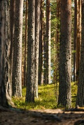 Sunny pine summer forest background. Pine trees, moss sunset moody forest background. Scenic wild nature dawn at pine forest.